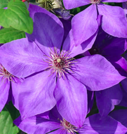 Variety Clematis Flowers