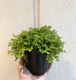 "Selaginella 4"""