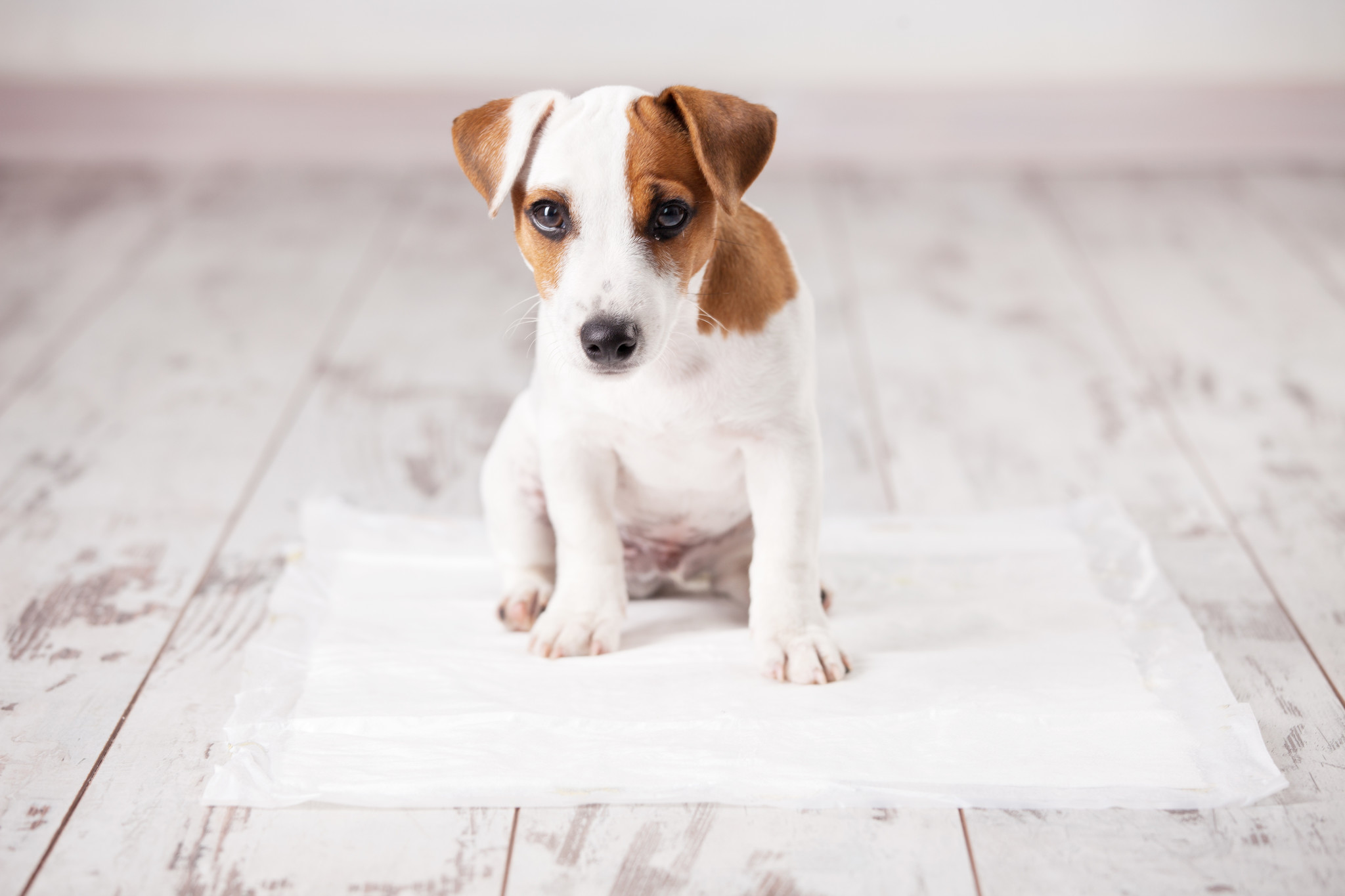 Potty Training 101 | Rutina efectiva para que  para perros