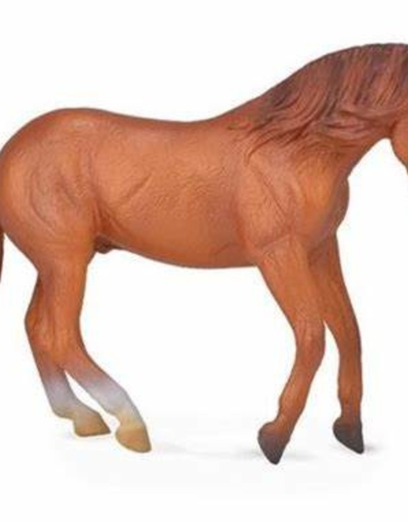 Chestnut Australian Stock Horse Stallion