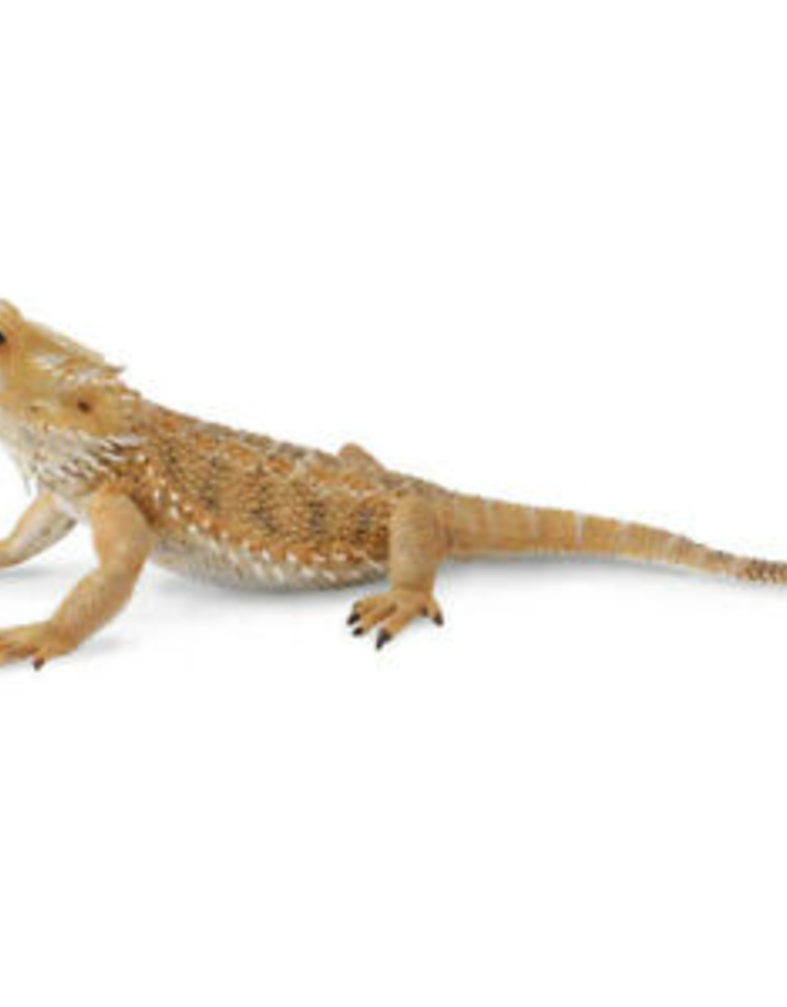 Insect: Bearded Dragon Lizard
