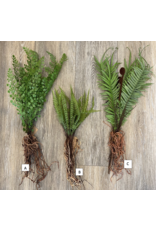 Faux Fern With Exposed Roots