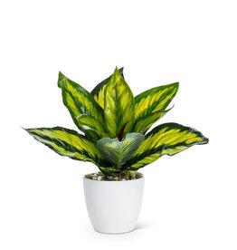 """Med Varigated Leaf Plant 8"""""""