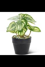 """Varigated  Small Leaf Plant - 6"""""""