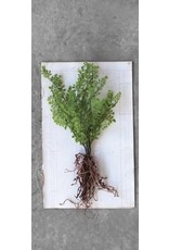 Creative Co-op Faux Ferns w/Exposed Roots