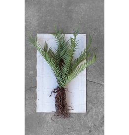 Creative Co-op Faux Ferns w/Exposed Roots and Stem