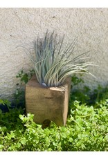 Seattle Seed Co. Live Air Plant - Large