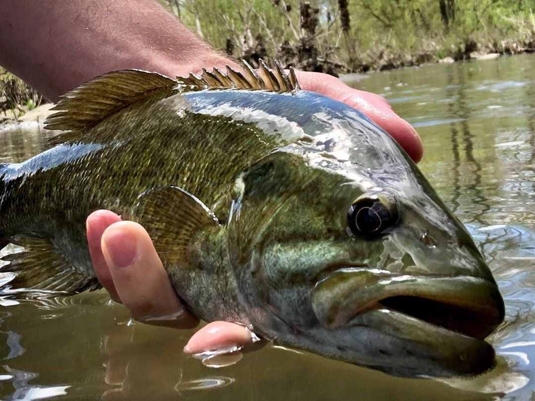 smallies taking flies on local streams