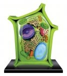 4D Plant Cell