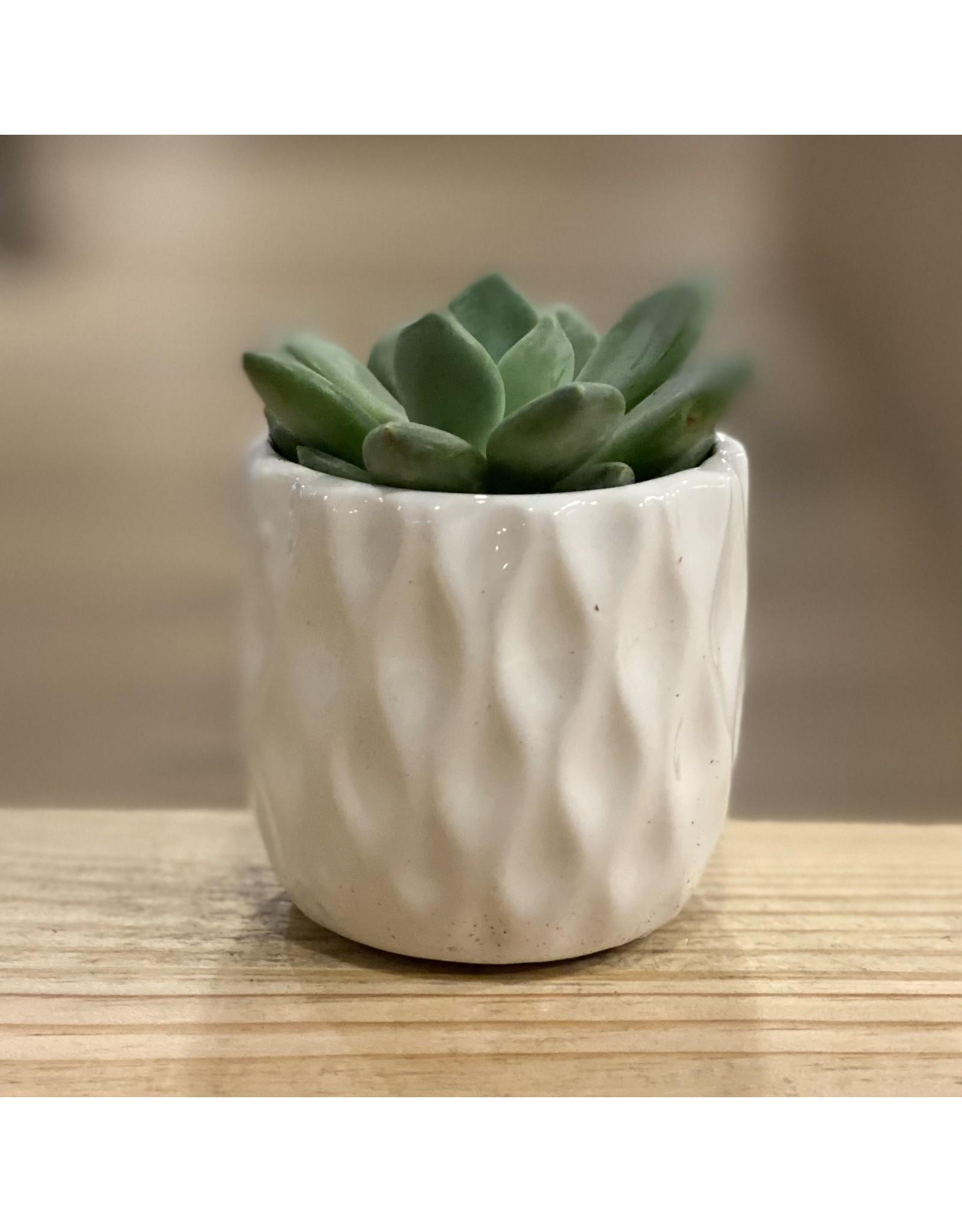 """3"""" Succulent in Ceramic"""