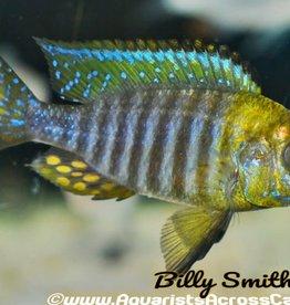 aFishionados Chitende Peacock Fish