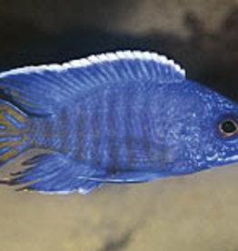 aFishionados Chilumba Peacock Fish