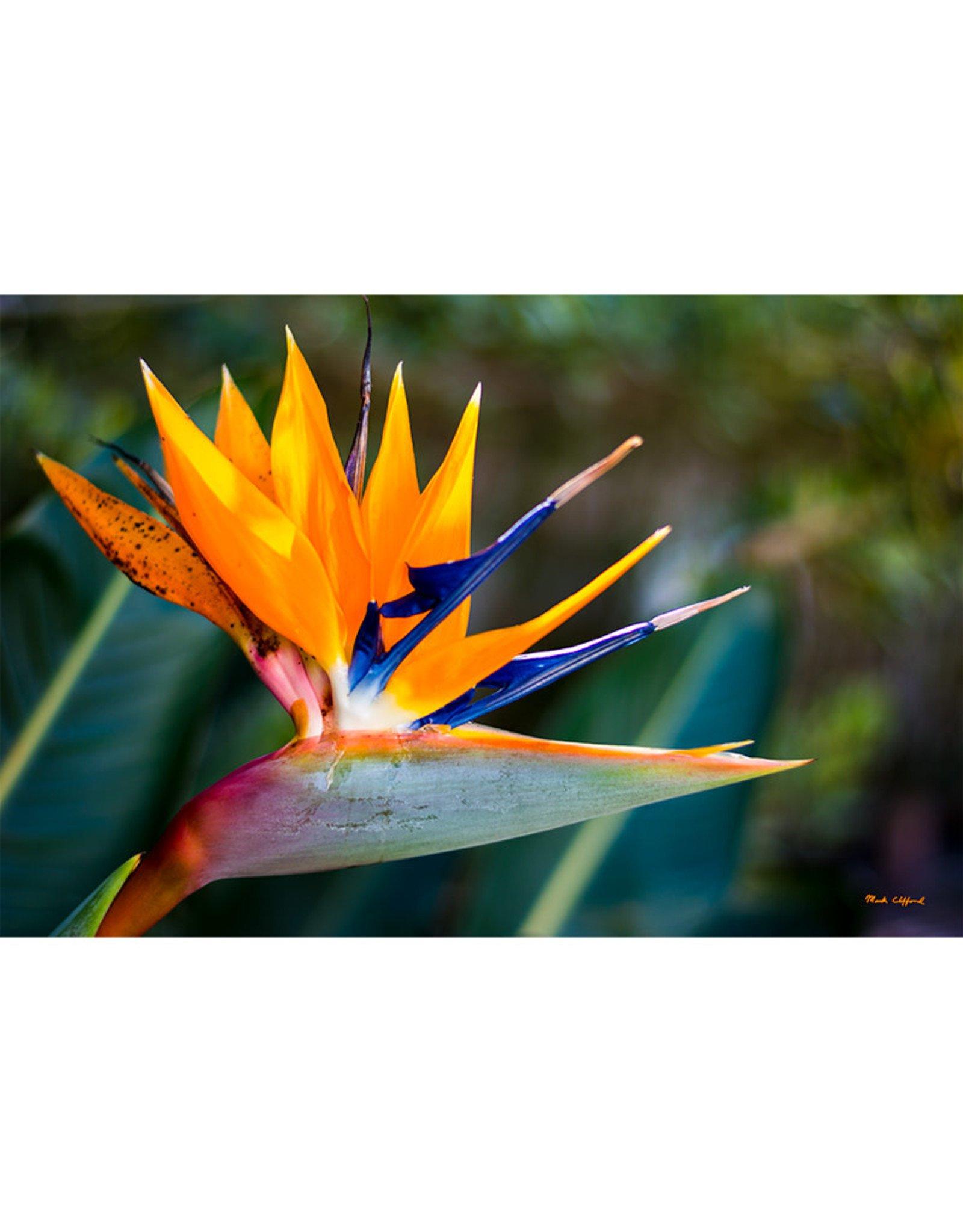 "Mark Clifford Bird of Paradise, 21"" by 14"" Framed Canvas Print"
