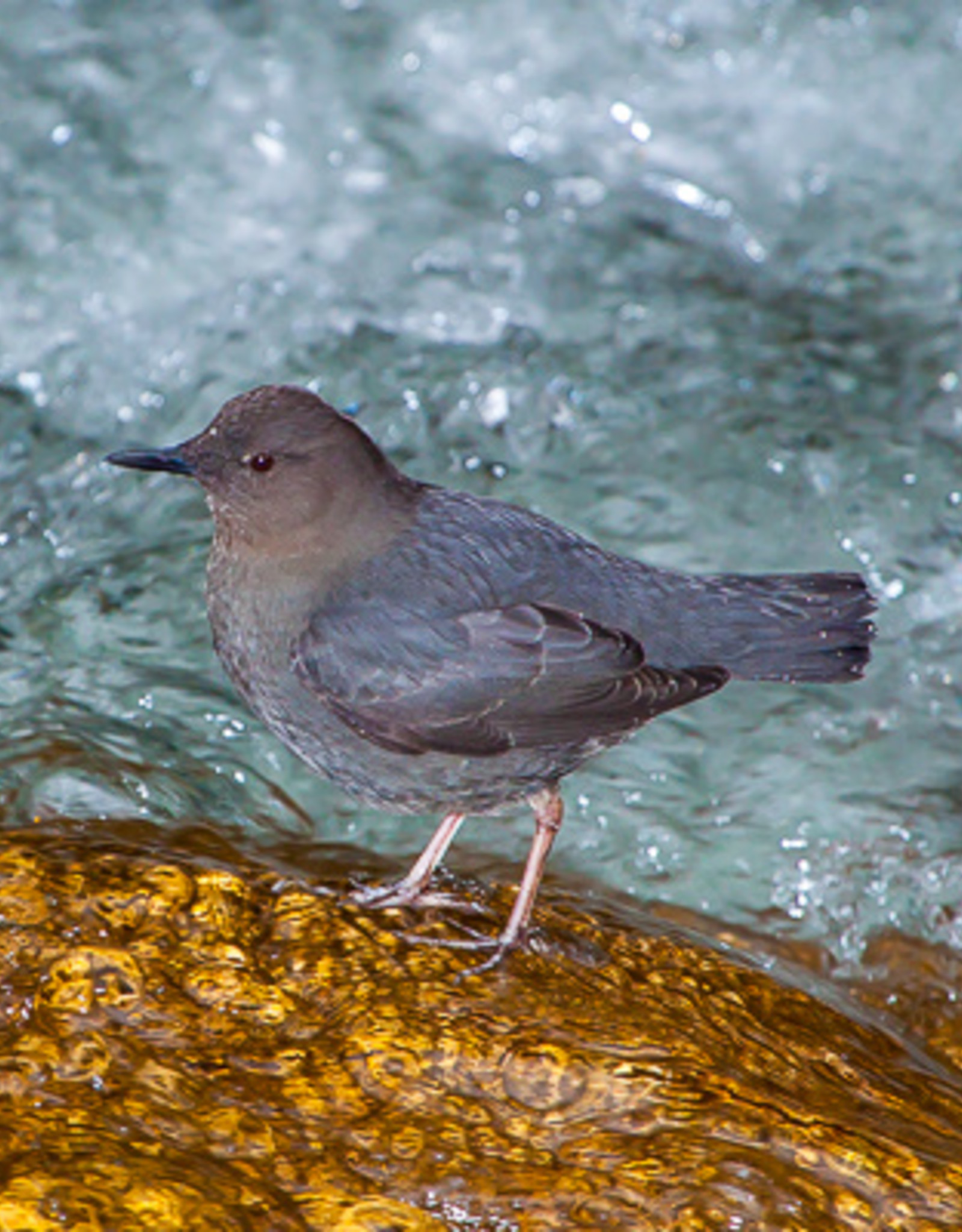 David Leonard Water Ouzel