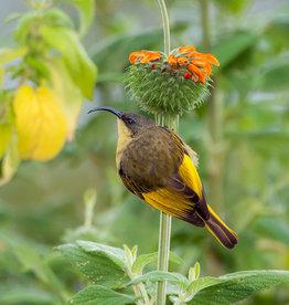 David Leonard Golden-winged Sunbird