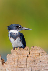 David Leonard Belted Kingfisher Card