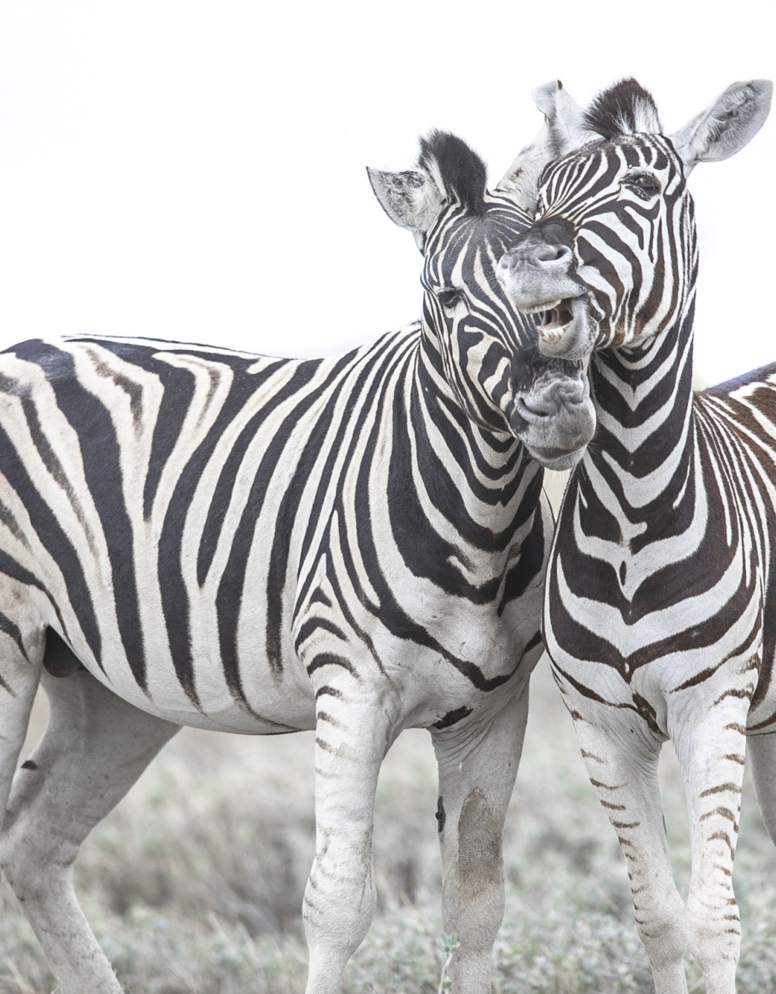 Alicia Hill Playful Zebras