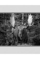 Bull Moose, Baxter State Park, Maine