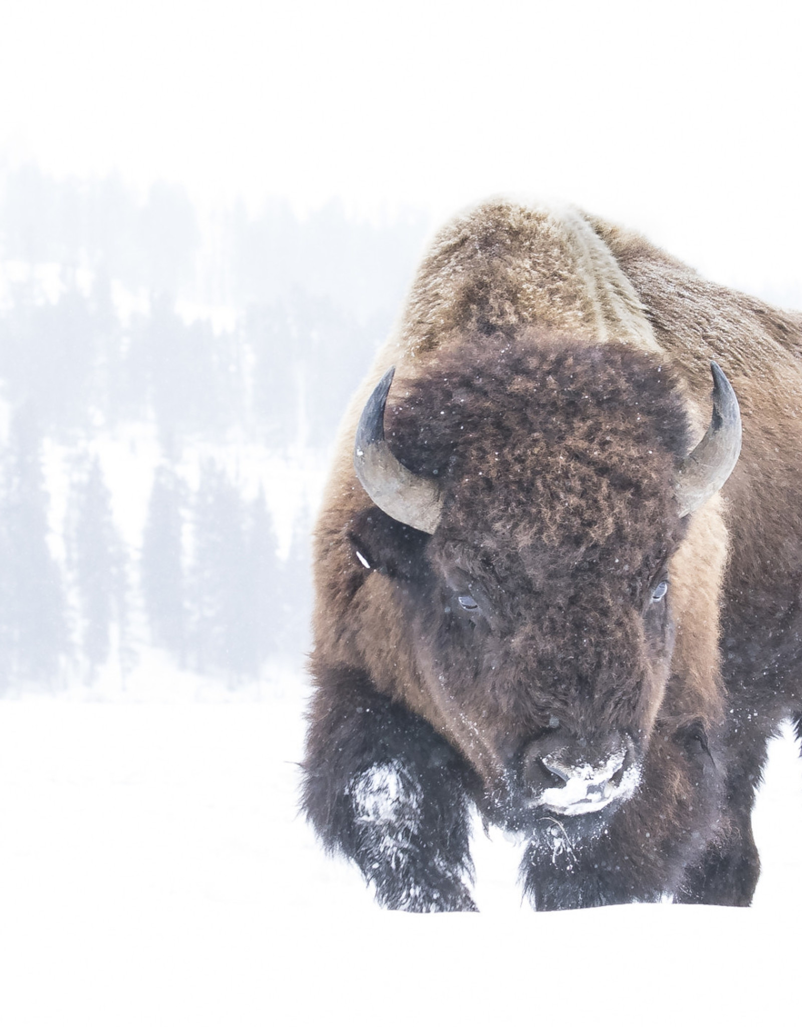 Alicia Hill Bison in the Snow, matted print