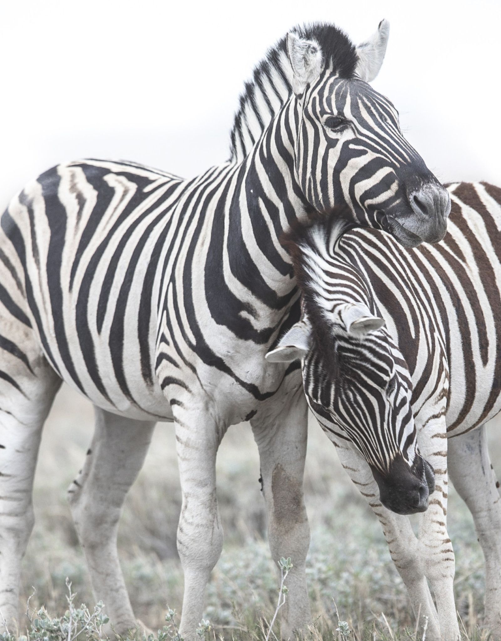 Alicia Hill Zebra Love, greeting card