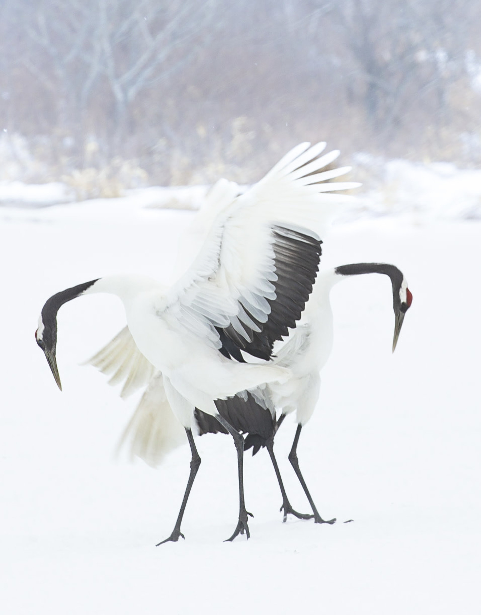 Alicia Hill Japanese Cranes, greeting card