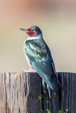 David Leonard Lewis's Woodpecker Card