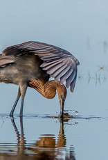 David Leonard Reddish Egret Card