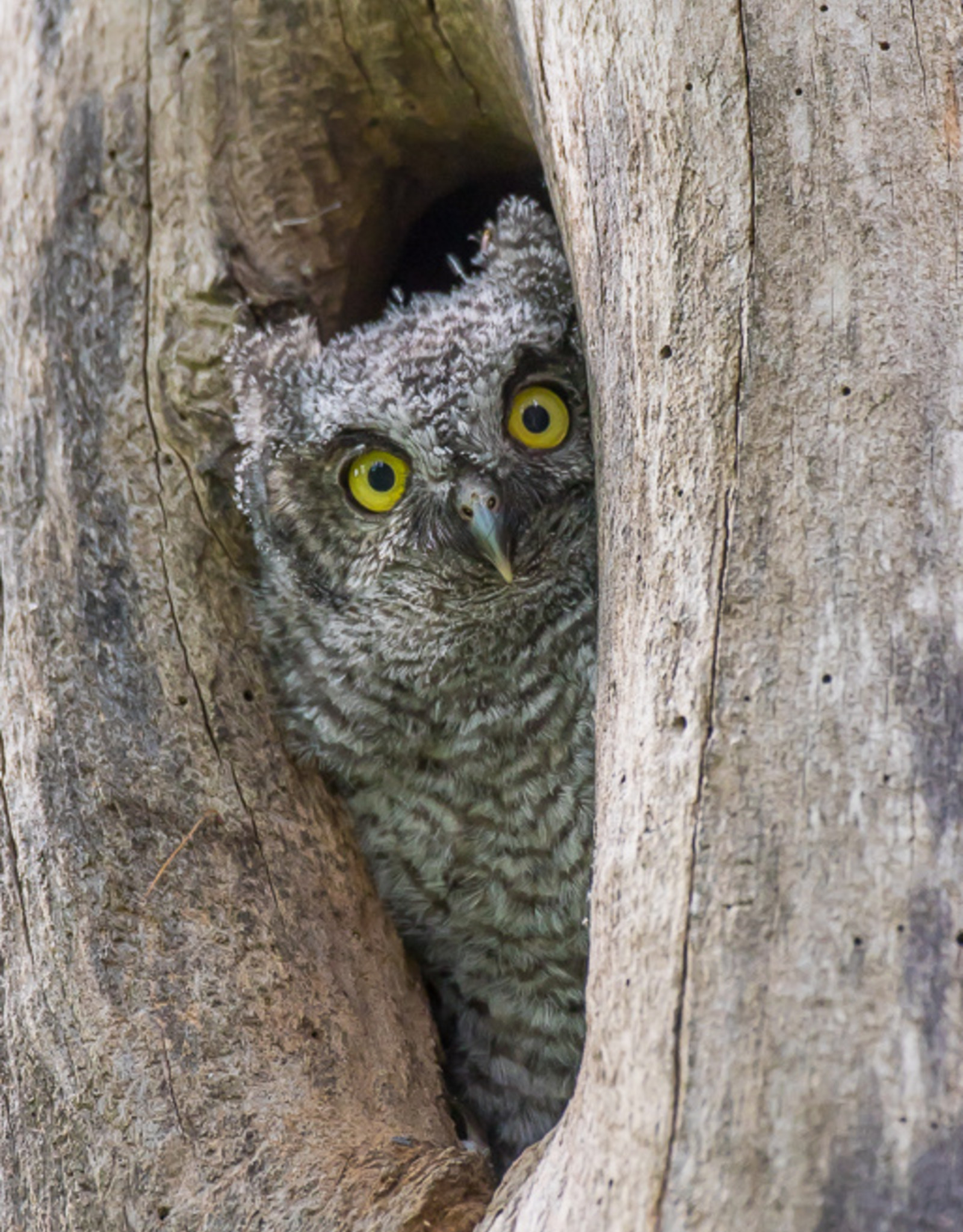 David Leonard Western Screech Owl Card