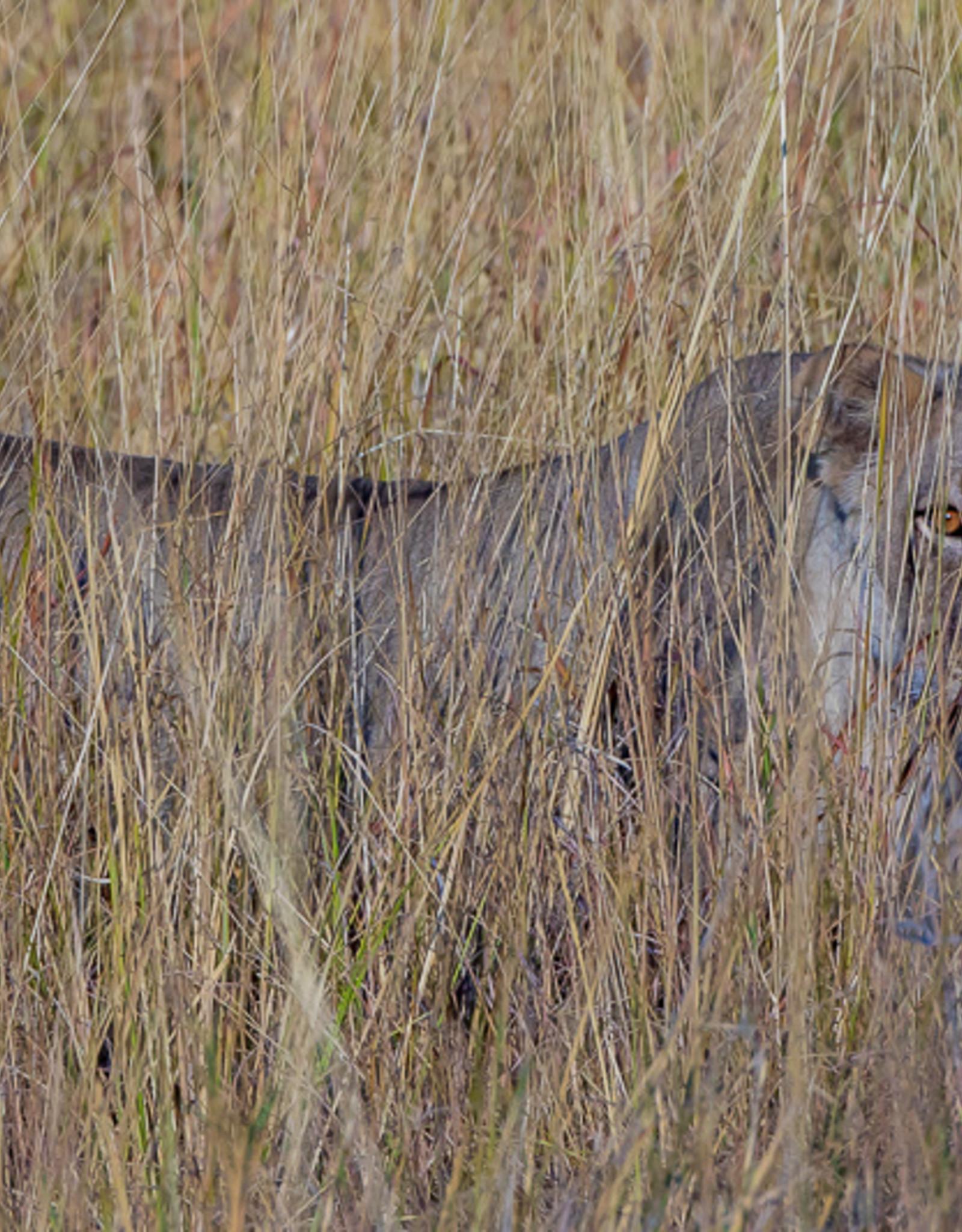 David Leonard African Lion Card