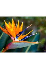 """Mark Clifford Bird of Paradise, 12"""" by 8"""" matted photograph"""