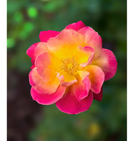"""Mark Clifford Pink Rose,  7"""" by 10"""" matted photographic print"""