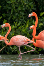 David Leonard American Flamingo Card