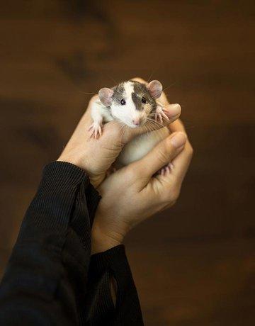 Rat mâle domestique en duo