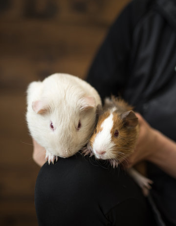 Cochon d'inde en duo (2)