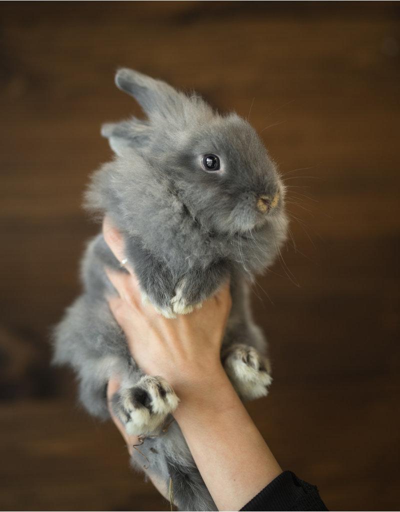 Lapereau (gris)