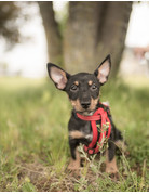 Copy of Chiot Jack Russel/Chihuahua/Yorkshire
