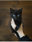 Chatons domestique Tabby et noir (3)