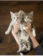 Chaton domestique Tabby gris pâle et Tabby brun et blanc (2)