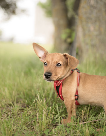 Chiot Jack Russel/Chihuahua/Yorkshire