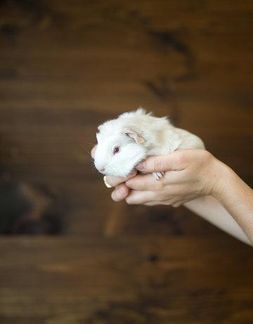 Cochon d'inde petit beige