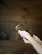 Cochon d'inde petit brun ''texel''