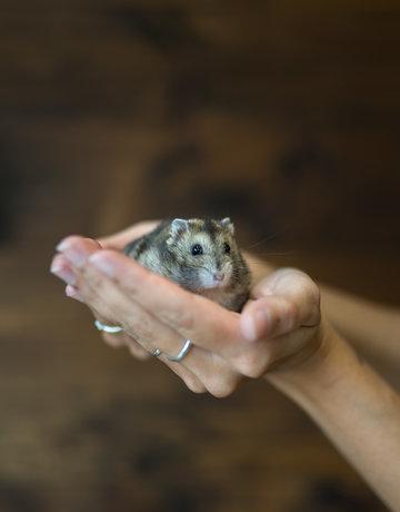 Hamster nain (Winter White)