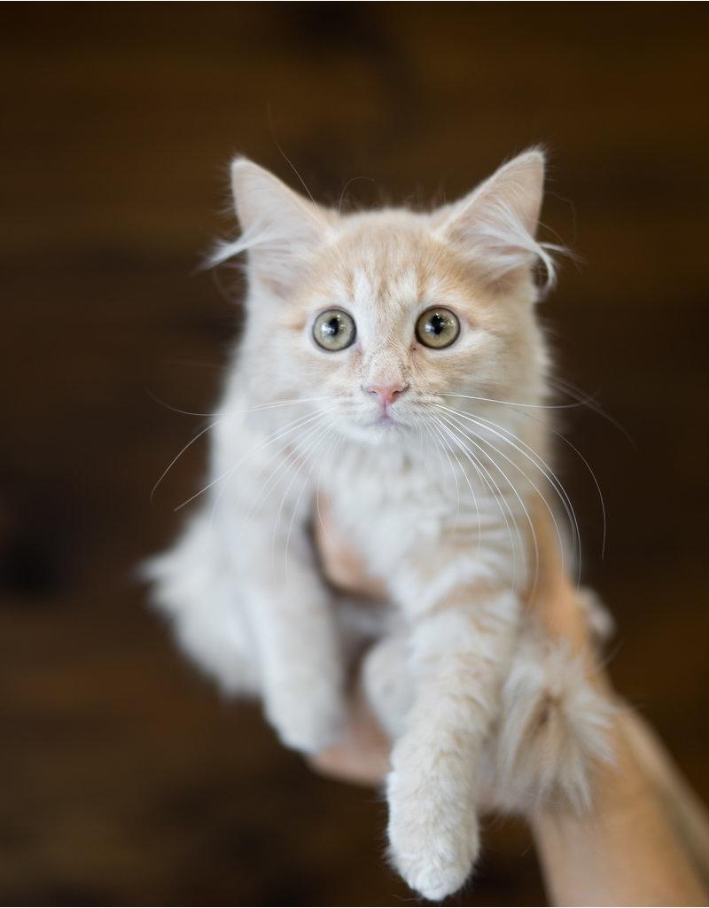 Chaton domestique, beige poils long, Flavie