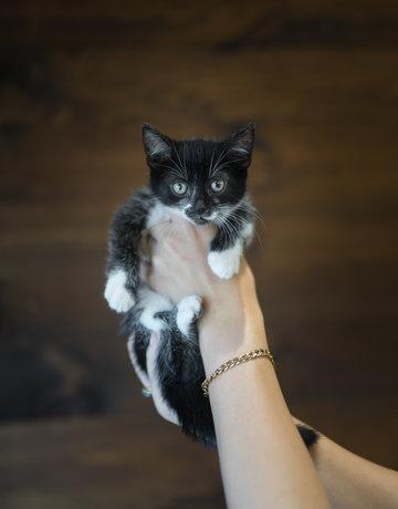Chaton domestique noir et un peu blanc Anice (5)