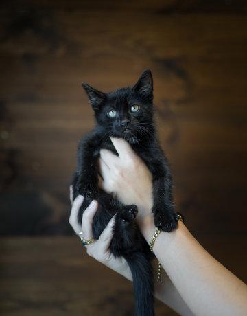 Chaton domestique noir Lionel  (5)