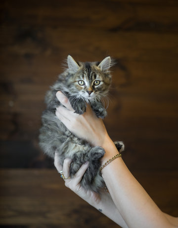 Chaton domestique torby, Solange (3)