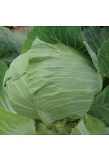 Seed Savers Cabbage - Premium Late Flat Dutch