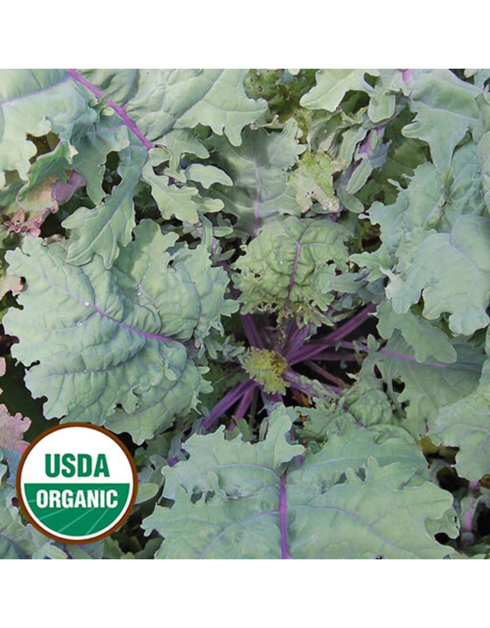 Seed Savers Kale - Red Russian