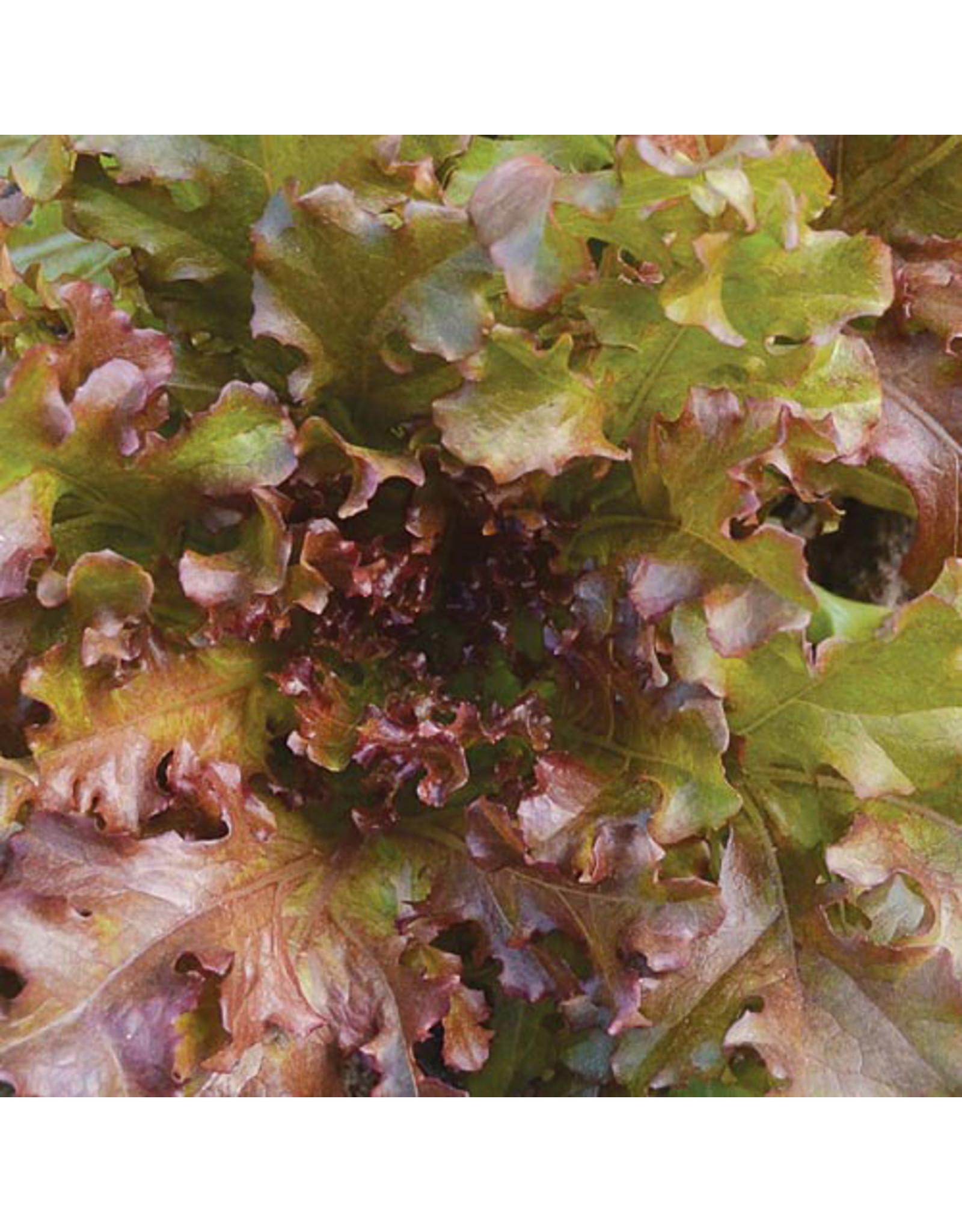 Seed Savers Lettuce - Mascara