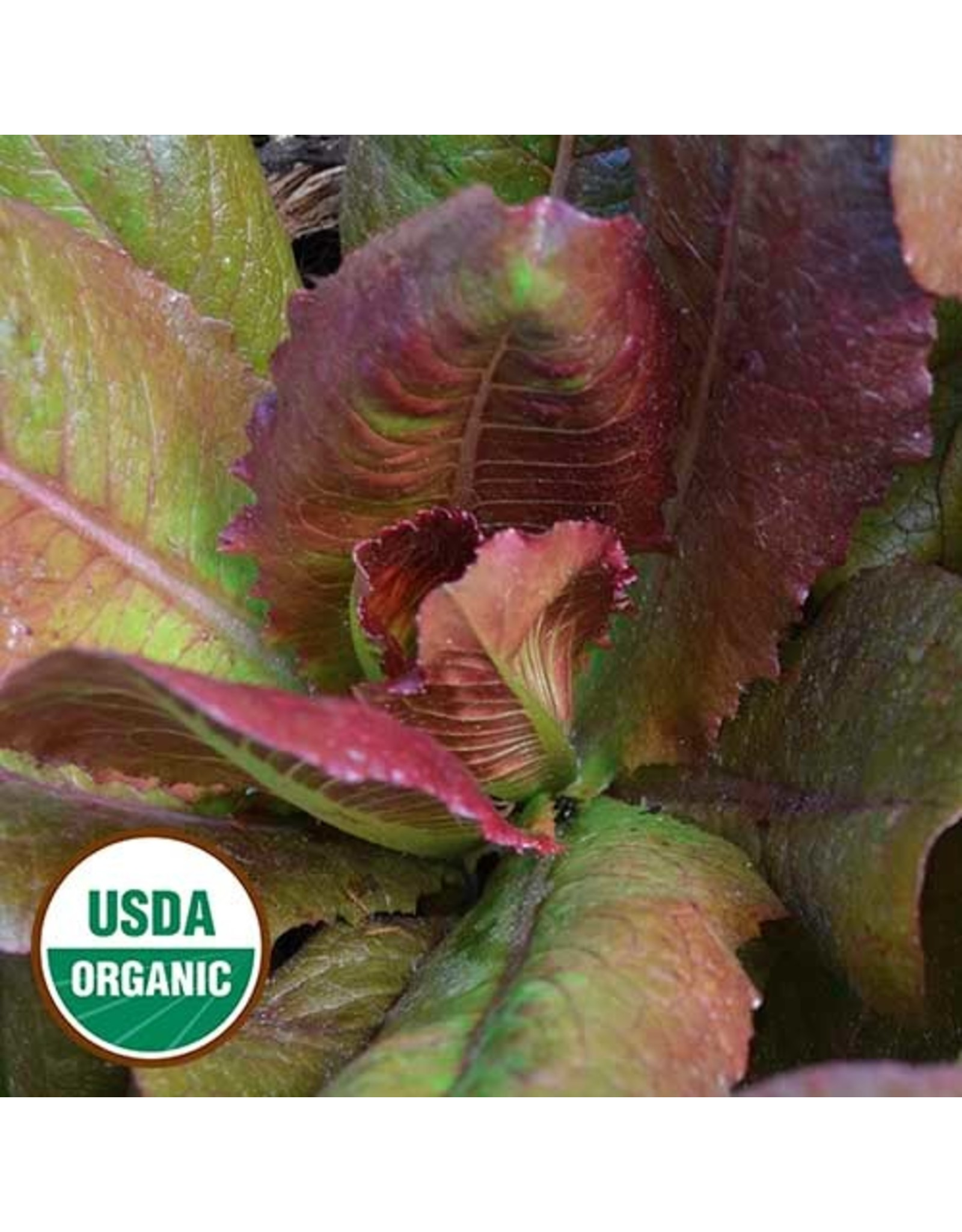 Seed Savers Lettuce - Rouge d' Hiver